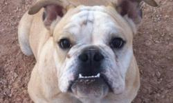 WE HAVE LOST A FAWN AND WHITE MINI ENGLISH BULLDOG ON AUG. 15TH AND ARE OFFERING A $500 REWARD FOR HIS SAFE RETURN OR FOR ANY IFORMATION LEADING TO HIS RETURN. HE WAS NOT WERAING HIS COLLAR AT THE TIME. PLEASE HELP US FIND HIM.