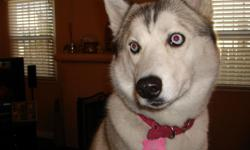 $500 Reward for information leading to the return of my white, blue-eyed Siberian Husky. She went missing last week Monday, Sept. 10 around Parkway Drive in South El Monte. She is mostly white with gray and tan highlights. Her name is Kealani and was