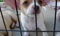 5 Chihuahua mix puppies.Mom is DNA tested(Dachshund 50% Chihuahua 50%)Father is AKC Papered(Chihuahua 100%) All 8 weeks old. 1 male and 4 females.They are paper trained, grass trained, eat puppy food, and they come when they are called.They are the most
