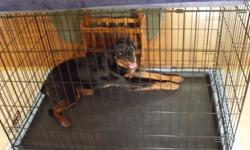 5 month old female Rottweiler with CKC application paper. Current on shots, spayed and micro-chip. Is good with kids, cats, and chickens. Is house and crate trained. Comes with large crate.
