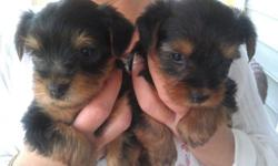 AKC YORKIE PUPPIES!!! Females $700 Males $600 They all come vet checked, de-wormed, first booster shot, tails docked, and dewclaws removed. They are all eating puppy food, and are well on their way to being potty/paper trained. These cuties have all been