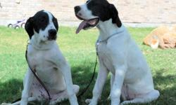 Dog Trainer selling 6mo Female Piebald color(White body with black head/rump markings) puppy. She is the pup on the right in the picture, showing more of a profile.Current on Rabies vac. and shots. Rose is well started with her training. She is crate