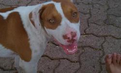 Jenna is a happy and loving pitt, and is seeking a caring family. She has her first shots and flea medicine taken care of. Please contact ASAP, Reason for release- Moving to Mexico