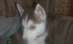 Selling a red 6 month old CKC Siberian Husky puppy. She has a great disposition, great with kids, hasn't been spayed, comes from a champion bloodline. She is dark red in color, has two different colored eyes. Asking $300 for her.