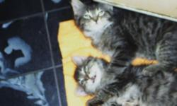 Chubby, FLUFFY Tabby twins; m&f Blk & grey stripe, +4 more females:1 Lightgrey/ peach/ Tabby, 1 Black faced Calico w /hat &belt markings, 2 mostly wht. Avg. 3 mos old. All are AFFECTIONATE & used to being held. Rescued & Ready for indoor adoption; sml fee