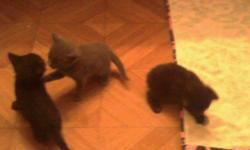 3 black and 2 grey domestic short hair kittens need homes! We are very friendly and litter box trained. If you are in the McHenry county area and are looking for a friend please check us out.