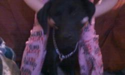 6mth BLACK LAB Female very friendly good with kids mother from england and father is from here both champion dogs we live in a trailer court and we are only loud 3 dogs right now we have 4 and we need to find a good home for the lab we not ship her on a