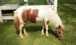 I would like to sell my 7yr. old registered mini mare. She is very gentle and craves human attention. I ammaking room for my herd of pygmy goats. would consider a trade for a pygmy goat doe of equalquality and value. She is aroan