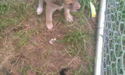 I have 8, 8 week old pups they are half queensland heeler and half choc. lab most of them are black(4F 1M) two are tan(1F 1M) and there is one brindle and hes a boy. They are very loving and energetic. Good with kids so far. They're all outside so not yet