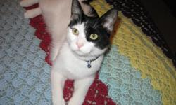 I am moving, so have to part with my male kitten, Marco. :-( He is 8 months old, playful, loving, spunky, well mannered, strictly indoors, great with kids, other cats, and dogs (have two dogs at home), neutered (no certificate available), initial RCP