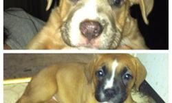 8 week old male and female American bulldogs for sale. Please call or text