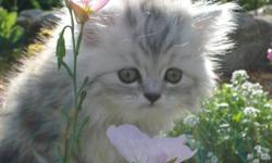 Dark gray and white female kitten with green eyes. Father is a show champion Call or email for more information