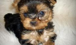 Local Bay Area precious small teddy bear like Female & Male Yorkie Puppies available. They are very loving and as cute as they can be. They have been raised with kids and are socialized. They would make great family pet and wonderful companion. They will