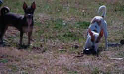 9 week Ckc registered full blooded male chihuahuas, born Nov. 28, 2010 with first shots & dewormed. They are very playful and need a home ask 200.00 each, the mom is a blue chihuahua and father is a deer head chihuahua white with brown. Bear is brown with