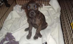 9 wk old brindle puppy is looking for a new home. I used to work with a local rescue, but haven't lately due to my health. I was trying to take a 3 month breather when this little one crossed my path...um. literally.... and although my rescue was too full