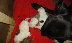 A.D.B.A REG. American pit bull Pups. Born May 19th 2011. Great blood lines including Juan Gotti and Razors Edge. Pups will go quick rare blues, a chocolate, white with black and 1 black with white. pups will have 1ST shots and be wormed. Parents on site,