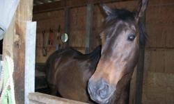 22 year old healthy thoroughbred mare. No health problems, no history of colic, illness or surgeries. Trailers, ties, leads, and stands well for the vet and farrier. Used for trail riding with martingale, good dressage or flat work prospect as she is a