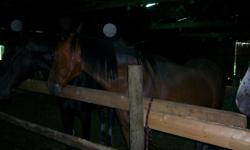 13 year old healthy standardbred gelding. No health problems, no history of colic, illness or surgeries. Trailers, ties, leads, and stands well for the vet and farrier. Used for trail riding and jumping, can be ridden in a hackamore. Is laid back,