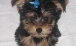 Male 3 months old and 2 1/2 lbs. Black and tan. Loveable and likes to have fun. Good with kids and other animals.