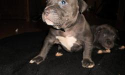 these pups have great bloodlines we have all the pedigrees on both parents mother is also adba you wont find a better dog for this price its a great deal 4 males 4 females markings are amazing on all them will make great pets first set of shots dewormed