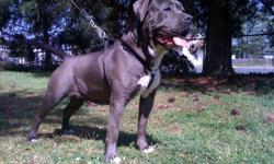 NOW THE ONLY REGISTERED KENNEL ALLOWED TO REG THIS BREED IN ABKC (American Bully Kennel Club). XXX RATED BANDOGGE KENNELS ! Lexi is half bully/pit bull & half Neapolitan mastiff,?..Folsom is 100% American Bully/pit bull??FOR A 75/25 HYBRID (a necessary