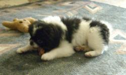 "ACA registered Japanese Chin puppy, male, born 6/1/11. He is black/white. Has now had 3 puppy shots and is micro-chipped. Very cute and playful. This breed is good with kids and generally love everyone. Not ""barkers"" and don't require professional"