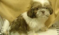 ACA registered male Shih Tzu puppy born 5/8/11. His daddy was chocolate colored. He is a dark gold but has the light colored nose and hazel eyes of a chocolate. He is very playful and happy. Will be about 9-10 pound adult. Has had all his puppy shots and