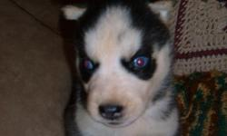 ACA Siberian Husky puppies with blue eyes. 1 male $450 and 3 females $500. Ready to go to new homes 10/8/11. First shots, worming and vet checked. If interested, call or email.