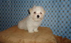 "ACA TINY TOY MALE MALTESE TEDDY BEAR FACE! ""MUST SEE THIS LIL BOY IN PERSON! JUST ADORABLE LIL FACE!"" Price's Start : $500 Healthy & Social Puppies!!! Don?t settle for anything less!!! NEW PUPPY VIDEO'S COMING SOON! YORKIE / MALTESE / SHIH-TZU /"