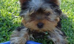 yorkie male 13 weeks old ,1st shots,paper trained,du-claw,tails docked.Mother on premises,father is champion bloodline. $700 (912)354-7521