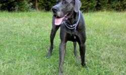Colby is a ACK old 12 month solid blue great dane with a small white marking on his toe and on chest with natural ears. He has had all vaccines, including rabies and deworming, micro-chipped, and been on heartguard and flea meds, and is up to date on all.
