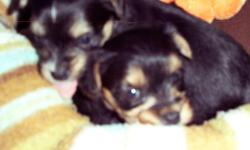 morkie puppiesavaliable november 28,Mother is a yorshire terrier Father is a maltise. They lookmostly like the mother. Parent on the premises. Call -- --