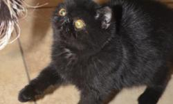Hi my name is Midnight. I would love to be adopted with my black brother Black Bart for Christmas. We love to play and are great lap kitties. We are both available for $650. My daddy is a solid black Grand Champion in CFA and my