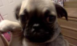 I have a 10 week female pug she is so adorable and loves to play im asking $250 obo for any questions here's my # 602-309-0215 text or call..