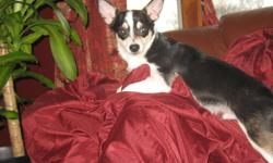 Hi I have 2 beautiful chi's that are black and white males that are 7 months old. They are super sweet and cute. They are really loved and live with children a cat and large dogs so they are not nervous. They are great eaters and are between 5 to 7lbs. We