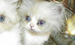 Beautiful, blue-eyed, persian kittens for sale for the holidays! They are sweet-tempered and socialized. I only have one sweet, little white girl, and one adorable, tiny, gray/white boy left, so hurry and reserve your kitten today! They are 8 weeks old