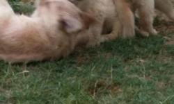 Gentle, intelligent golden retriever pups for sale! 7 males and 4 females ready for loving families for a lifetime of love! They are wonderful family dogs as they are a very gentle and affectionate breed. Must see to appreciate! Parents on premises and
