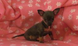 Adorable ACA registered short-haired blue chihuahua female puppy born on 10/8/12, will be up-to-date on vaccinations & dewormings. Has been to the vet for a health checkup also. She currently weighs 1 lb. 6 oz. at 8 weeks old & is expected to be no more