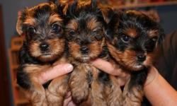 Adorable yorkie puppies for sale (2 girls and 1 boy). Love to play with toys, children and other dogs. Pee pee pad trained. Looking for a loving home. They are ACA registered with 3 generation papers. Will be available to go to a loving home on December