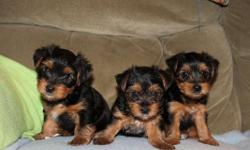 Adorable yorkie puppies for sale ( 2 girls and 1 boy ). Love to play with toys, children and other dogs. Pee pee pad trained. Looking for a loving home. They are ACA registered with 3 generation papers. Will be available to go to a loving home on December