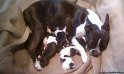 Born 2/24/2011, Dad 20lbs, Mom 14lbs (petite Boston Terrier) both on site. Vet check, dew claw removal, worming, and first shots to be completed prior to sell date. There are four males, 3 females, black/white with slight brindle. Ready 3/7/2011, deposits