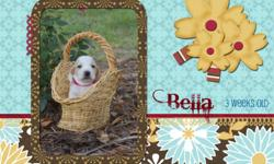 Meet Baby Bella. She was born on June 18th and will be ready for her forever home on July 30th. I am currently taking deposits to hold the puppy of your choice. Each puppy will come with full AKC Registration papers, dewormed, and 1st set of shots. If you