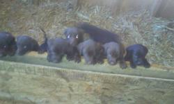 Adorable AKC Choc. male Lab puppy. 14 Weeks old, (lighter one on right is the only one left) has had 1st & 2nd shots, wormed, vet checked. Mom on site, asking $150. Please call --