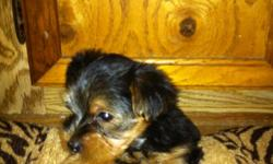 adorable, playful,pure breeded yorkie males for sale ONLY two left