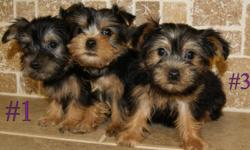 Adorable AKC Yorkshire Terrier puppies. 4 to choose from. Very sweet, pre-spoiled male puppies that loves to play. They are 8 weeks and ready to go. They are already getting a very nice non-shedding coats. They will go to their new home with full AKC Reg