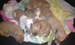 Adorable 6 week old American Pitt Bull Puppies. Will be ready in a week or two. Already eatingpuppy food. They will come with puppy vaccinations. There are 5 males and 2 females. UKC registered. Looking for a loving home and please only serious