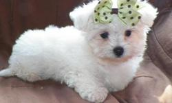 adorable and lovely maltese puppies for a good home,they are very social with every one and love to play with kids and other home pets,they are vet check,registered/registerable, Current vaccinations, Veterinarian examination, Health certificate, Health