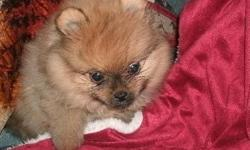 Adorable and well trained male and female Pomerania puppies for a good home,they are vet check,registered/registerable, Current vaccinations, Veterinarian examination, Health certificate, Health guarantee they are very social with every one and love to