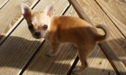 Apple head Chihuahua female puppy 12 weeks old purebred, light brown with white markings parents are AKC registered, will mature around 4 pounds 300 or best offer please call -- no texts please thank you
