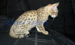 This beautiful male Bengal kitten will make a perfect edition to any home! He is playful and full of energy. His distinct markings can be clearly seen even through the ?ugly fuzzies? he currently has (Bengal kittens have a ?fuzzy? coat that they grow out